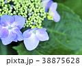 ガクアジサイの花 ガクアジサイ 花の写真 38875628