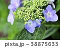 ガクアジサイの花 ガクアジサイ 紫陽花の写真 38875633