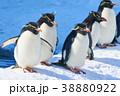 イワトビペンギン ペンギン 旭山動物園の写真 38880922