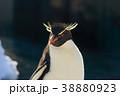イワトビペンギン ペンギン 鳥類の写真 38880923
