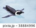気持ちよさそうに泳ぐケープペンギン 38884996