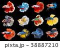 魚 ベタ カラーの写真 38887210