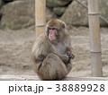 ニホンザル 猿 動物の写真 38889928