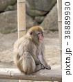 ニホンザル 猿 動物の写真 38889930