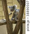 コアラ 動物 有袋類の写真 38890507