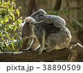 コアラ 動物 有袋類の写真 38890509