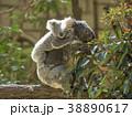 コアラ 動物 有袋類の写真 38890617