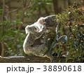 コアラ 動物 有袋類の写真 38890618