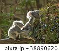 コアラ 動物 有袋類の写真 38890620