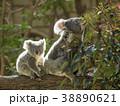 コアラ 動物 有袋類の写真 38890621