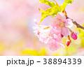 桜 葉桜 春の写真 38894339