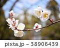 白梅 梅 花の写真 38906439