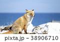 キタキツネ 狐 キツネの写真 38906710
