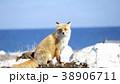 キタキツネ 狐 キツネの写真 38906711