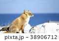 キタキツネ 狐 キツネの写真 38906712
