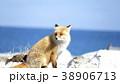 キタキツネ 狐 キツネの写真 38906713