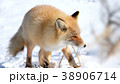 キタキツネ 狐 キツネの写真 38906714
