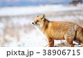 キタキツネ 狐 キツネの写真 38906715