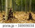 タケノコ 洛西 植物の写真 38909038