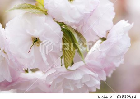 八重桜 38910632