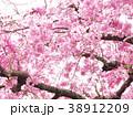 春爛漫/桜 38912209