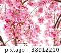 春爛漫/桜 38912210