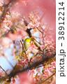 メジロと春 38912214