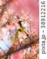 メジロと春 38912216