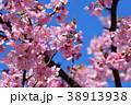 桜、サクラ、満開の河津桜、青空 38913938