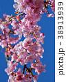 桜、サクラ、満開の河津桜、青空 38913939