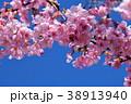 桜、サクラ、満開の河津桜、青空 38913940