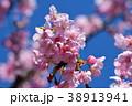 桜、サクラ、満開の河津桜、青空 38913941