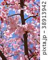 桜、サクラ、満開の河津桜、青空 38913942