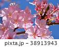 桜、サクラ、満開の河津桜、青空 38913943