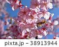 桜、サクラ、満開の河津桜、青空 38913944