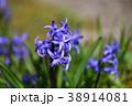 ヒヤシンスの花 38914081