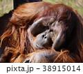 オランウータン 38915014