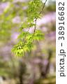 楓 モミジ 植物の写真 38916682