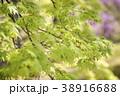楓 モミジ 植物の写真 38916688