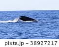 慶良間諸島のホエールウォッチング 38927217