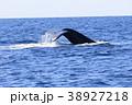 慶良間諸島のホエールウォッチング 38927218