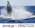 慶良間諸島のホエールウォッチング 38927220