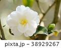 椿 花 一輪の写真 38929267