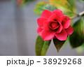 椿 花 一輪の写真 38929268