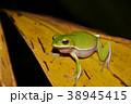 アマガエル 雨蛙 雨がえるの写真 38945415