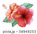 ハイビスカス 花 植物のイラスト 38949253