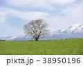 小岩井農場 一本桜 桜の写真 38950196