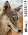 おおかみ オオカミ 狼の写真 38955026