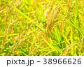 秋の稲 (9月) 38966626
