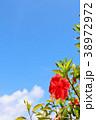 晴れ 花 ハイビスカスの写真 38972972